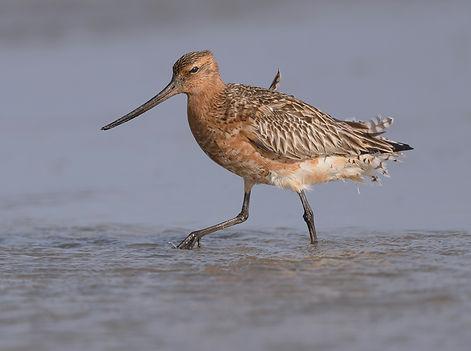 Vogelfotografie Texel. Rosse Grutto aan het foerageren.