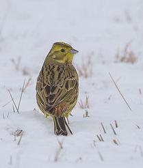 Vogelfotografie Polen, Geelgors.
