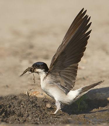 Vogelfotografie Texel. Huiszwaluw.