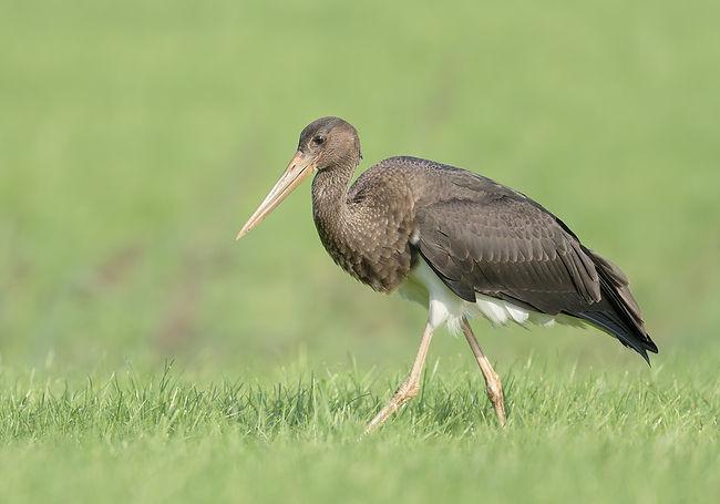 Vogelfotografie Zwarte Ooievaar.