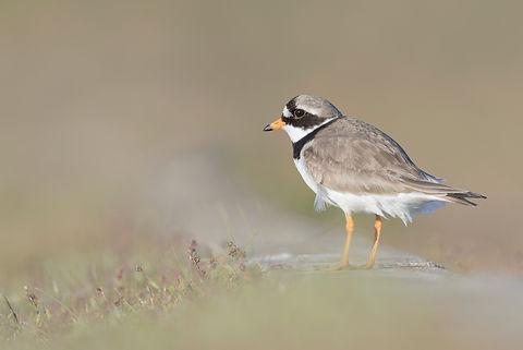 Vogelfotografie Texel.  Een volwassen Bontbekplevier houdt zijn jongen op afstand in de gaten.