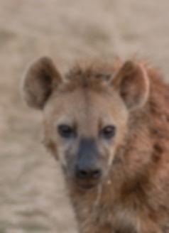 Spotted Hyaena (Gevlekte Hyena)