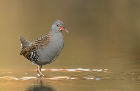Vogelfotografie, Waterral, Schotland