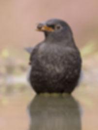 Vogelfotogafie Merel.