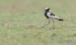 Kafue NP, Blacksmith Lapwing.