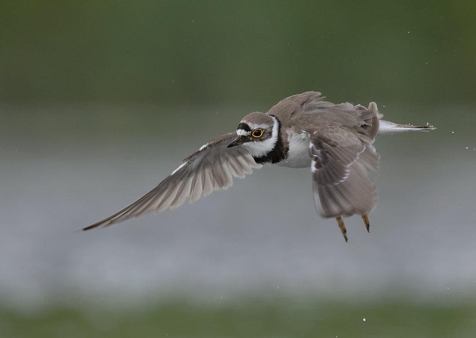 Vogelfotografie, Kleine Plevier.