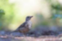 Vogelfotografie Grote Lijster.