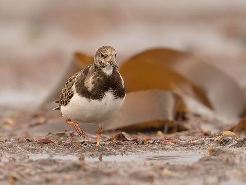 Vogelfotografie IJsland,  Steenloper.