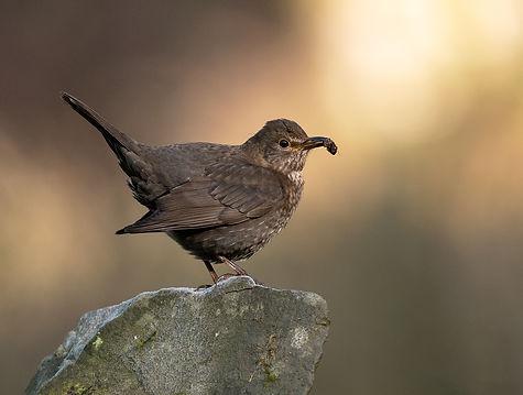 Vogelfotografie, Merel, Schotland
