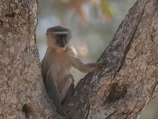 Southern-Vervet-Monkey (Groene Meerkat)