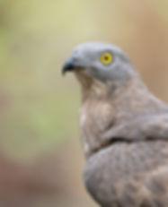 Vogelfotografie, Wespendief