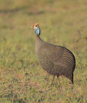 Vogelfotografie Helmeted-Guineafowl.