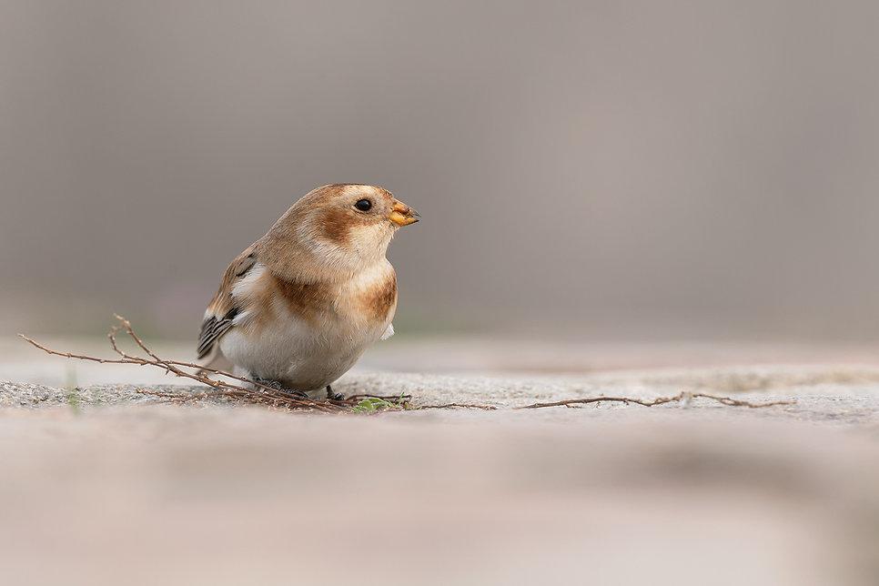 Vogelfotografie, Sneeuwgors