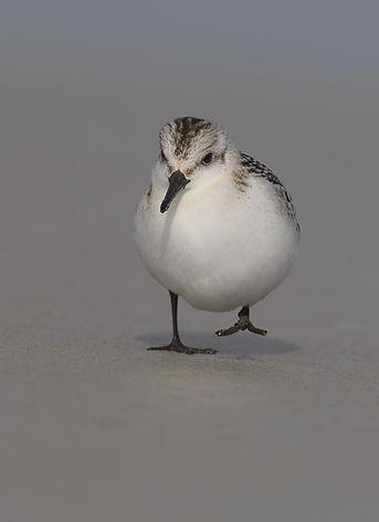 Vogelfotografie Drieteenstrandloper.