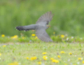 Vogelfotografie Bird in flight Koekoek.
