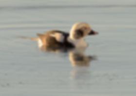 Vogelfotografie IJsland, IJseend.