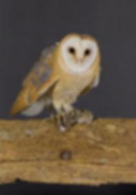 Vogelfotografie, Kerkuil