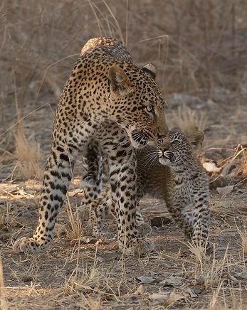 Luipaard ontmoet haar jong weer. Wat een super ervaring was dat.