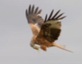 Vogelfotografie Toledo, Spanje,  Rode Wouw.