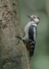 Vogelfotografie Hongarije, Middelste Bonte Specht.