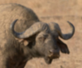 Savanna Buffalo (Savanna Buffel)