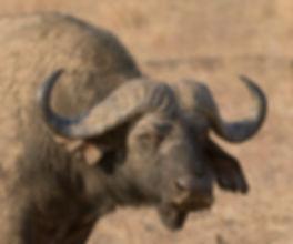 Savanna Buffalo (Savanna Buffel)