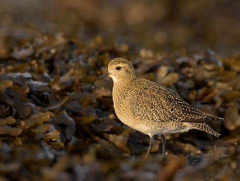 Vogelfotografie IJsland, Goudplevier.