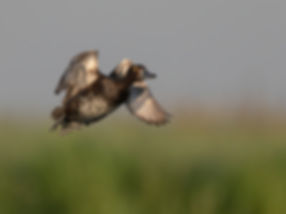 Vogelfotografie Bird in flight Kuifeend.