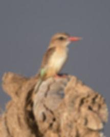 Brown-Hooded Kinfisher (Bruinekapijsvogel)