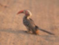 Southern-Red-Billed Hornbill (Zuidelijke Roodsnaveltok)