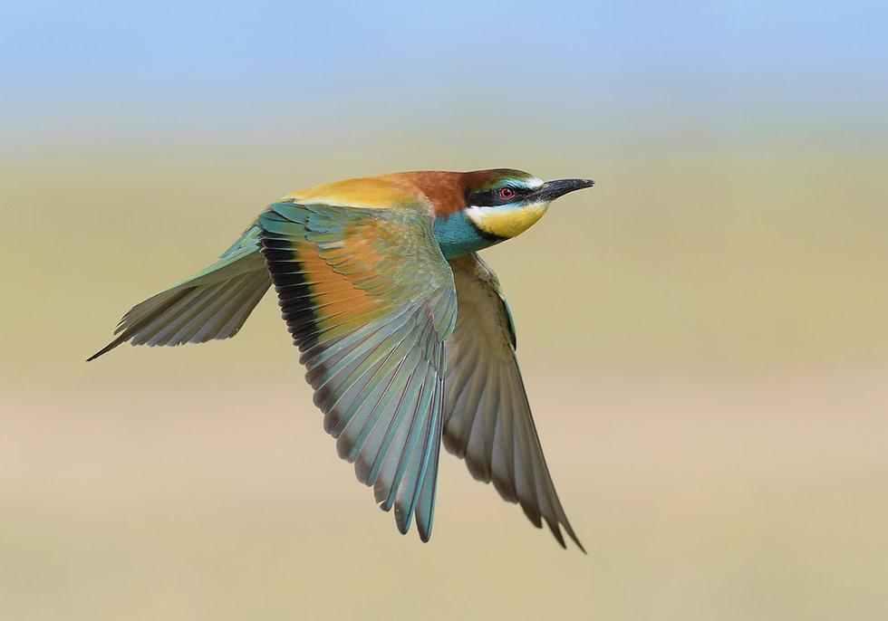 Vogelfotografie Bijeneter.