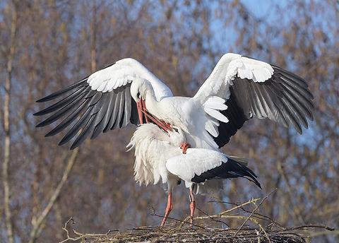Vogelfotografie, Ooievaar.