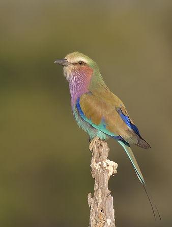 Lilac-breasted Roller (Vorkstaarscharrelaar)