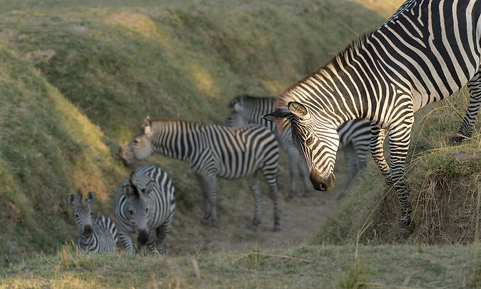 Plains Zebra (Steppezebra)