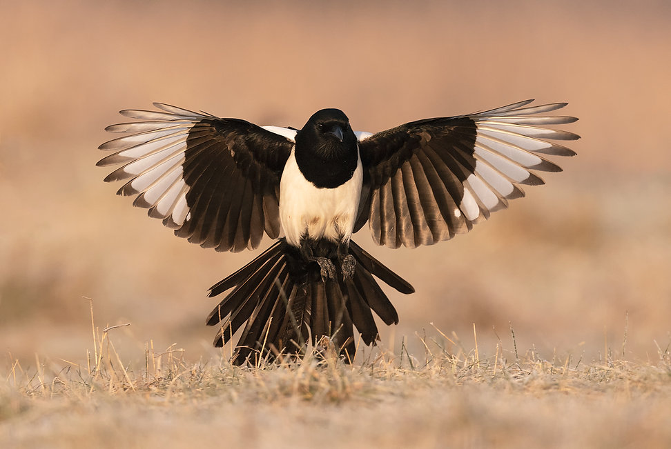 Vogelfotografie, Hongarije, Ekster, Eurasian Magpie.
