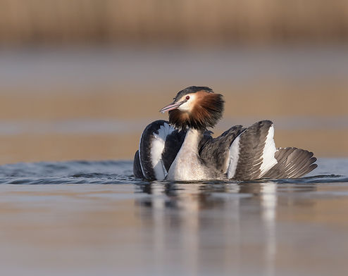 De partner van de Fuut komt onderwater weer boven bij de zeilende Fuut.
