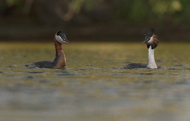 Vogelfotografie, Roodhalsfuut
