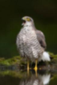 Vogelfotografie Hongarije, Sperwer.