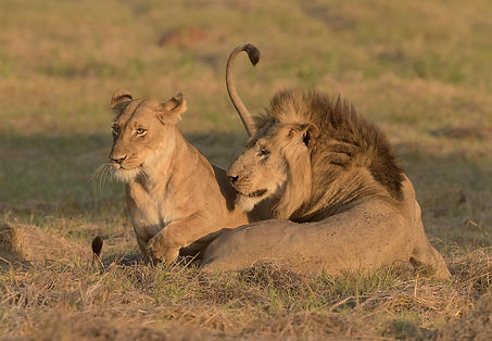 Zambia, Kafue NP, paring Leeuwen.