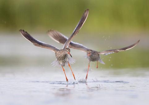 Tijdens de balts achtervolgen de Tureluurs elkaar regelmaig.