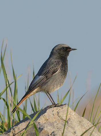 Vogelfotografie Texel.  Zwarte Roodstaart.