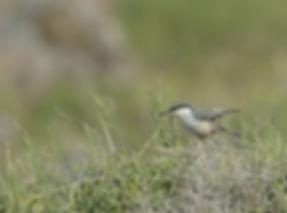 Vogelfotografie Lesbos, Rotsklever.
