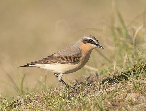 Vogelfotografie Texel.  Tapuit kun je altijd in de duinen spotten.