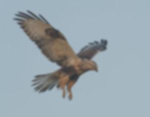 Vogelfotografie Ruigpootbuizerd.