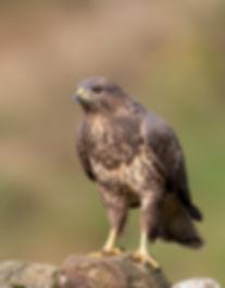 Vogelfotografie, Buizerd, Schotland