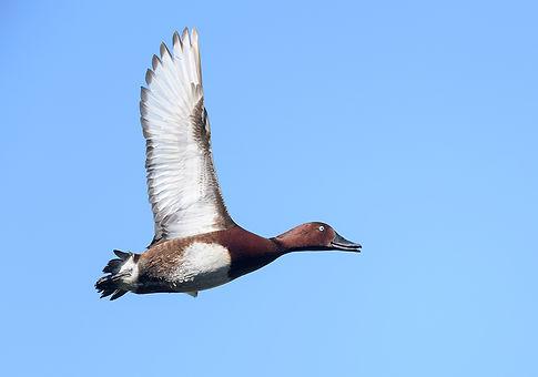 Vogelfotografie Hongarije, Witoogeend.