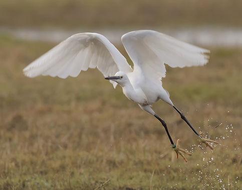 Vogelfotografie Kleine zilverreiger.