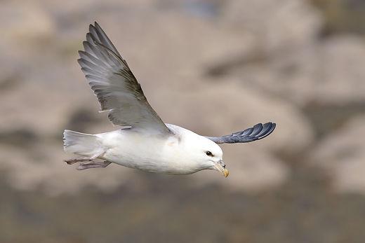 Vogelfotografie Farne Island,  Noordse Stormvogel.