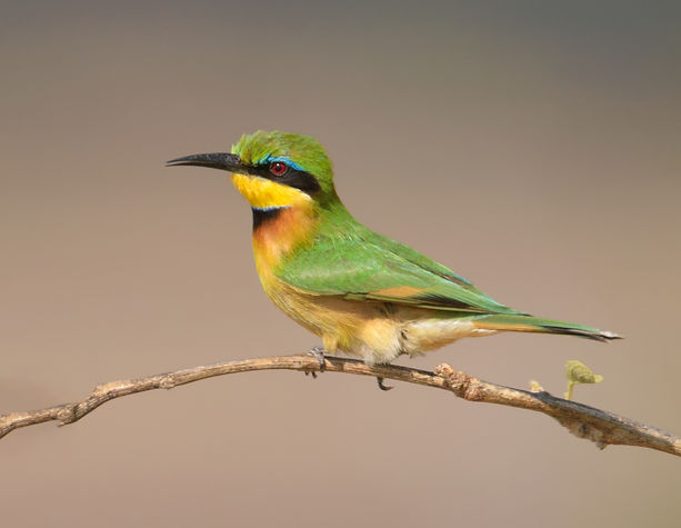 Little Bee-eater (Dwergbijeneter)