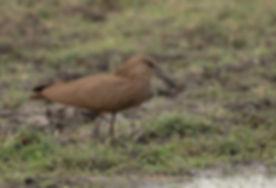 Vogelfotografie Hamerkop.
